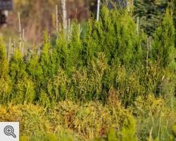 Choinki i drzewka ozdobne