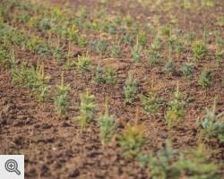 Plantacja choinek